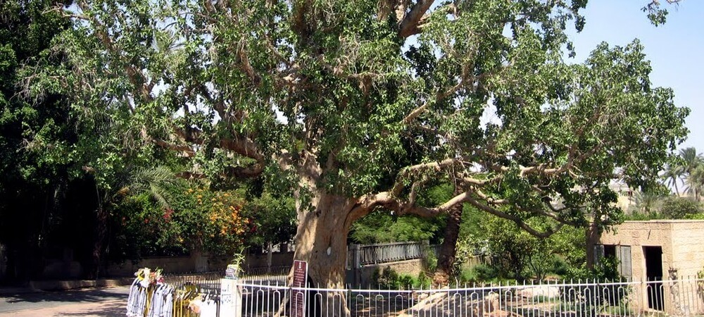 Pohon Ara Zakheus